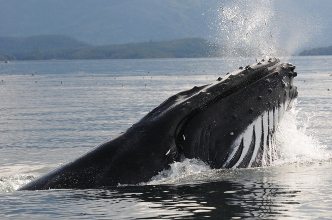 """Humpback whale """"Guardian"""" lunge-feeding on herring"""