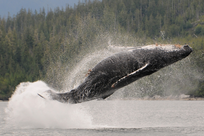 "Humpback whale ""Android"", breaching (photo: Christie McMillan, MERS)"