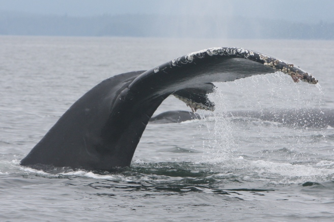 Humpback whale tailstock, with scarring indicative of a previous entanglement (photo: Jared Towers, MERS)