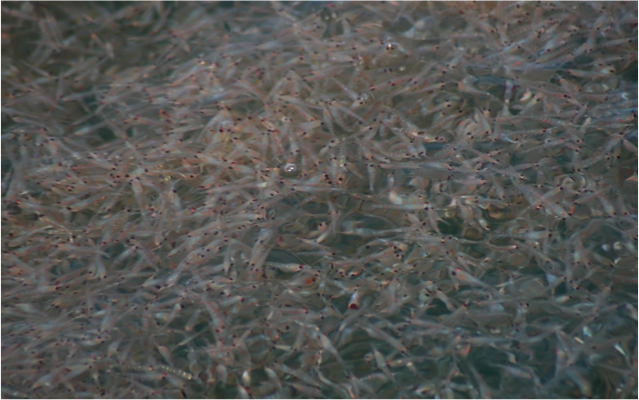 In some areas, krill (these small crustaceans) make up a large proportion of humpback whale diet
