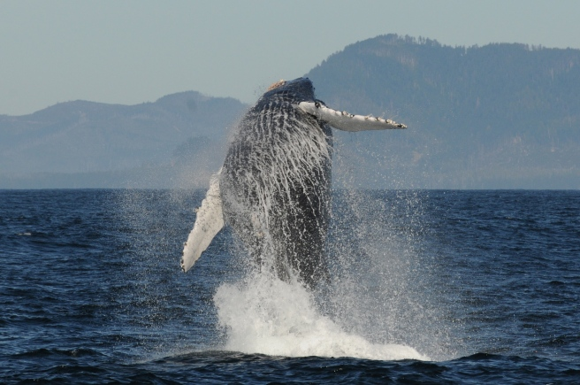 A humpback whale breaching off the west coast of Vancouver Island