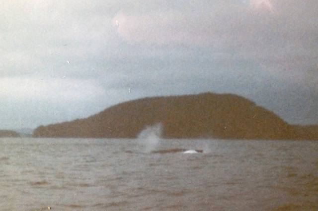 The first humpback I ever saw in BC in the late 1980s