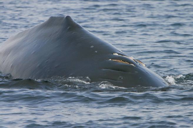 Slash (BCY0177) in 2006.  The injuries on her back were caused by a vessel strike (photo by Jared Towers, MERS)