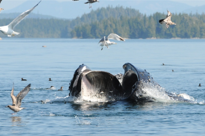 """At this time of year, large numbers of humpback whales spend time feeding in eastern Queen Charlotte Strait.  This is """"Ripple"""" (BCX1063), lunge-feeding on herring near Bold Head (photo by Christie McMillan, MERS)"""