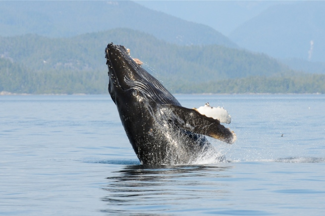 Slash's calf, Stitch, breaching while her mother feeds on herring (photo by Christie McMillan, MERS)