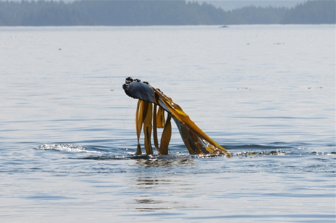 Stitch, lifting up kelp with her flipper (photo by Christie McMillan, MERS)