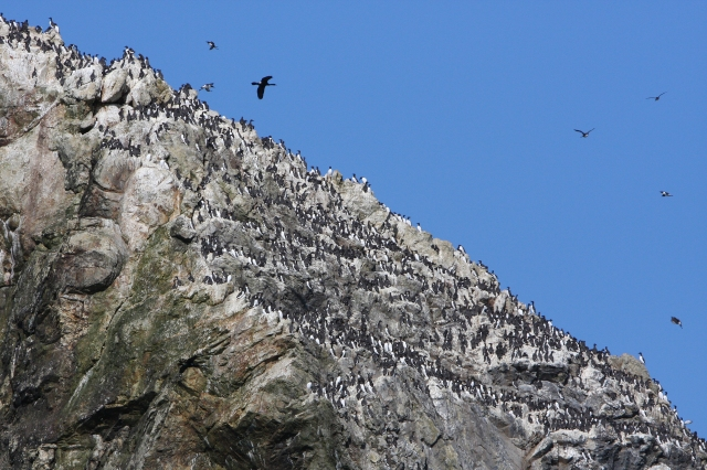 The common murre colony at Triangle Island - © JTowers