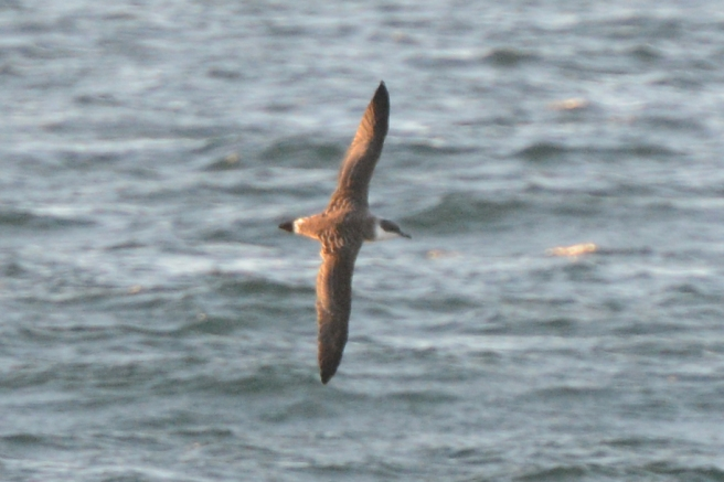 Great Shearwater in Hecate Strait BC.  Sept 05, 2013