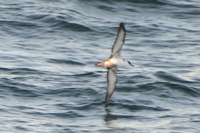 Great Shearwater in Hecate Strait BC. Sept 05th, 2013