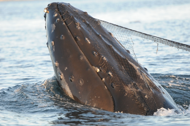 The net on Cutter's head was attached by barnacles and tubercles on his lower jaw.   (Photo by Christie McMillan, MERS)