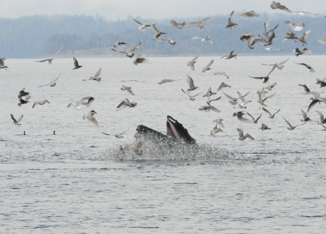 "Humpback whale ""Guardian"" lunge-feeding on herring  (photo by Jackie Hildering, MERS)"