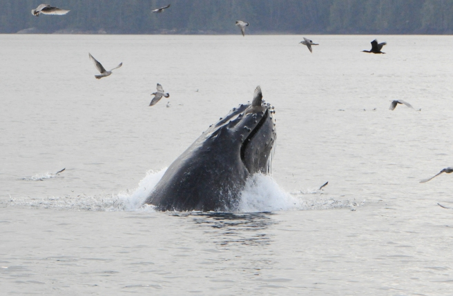 "Humpback whale ""Guardian"", lunge-feeding on herring (photo by Jackie Hildering, MERS)"
