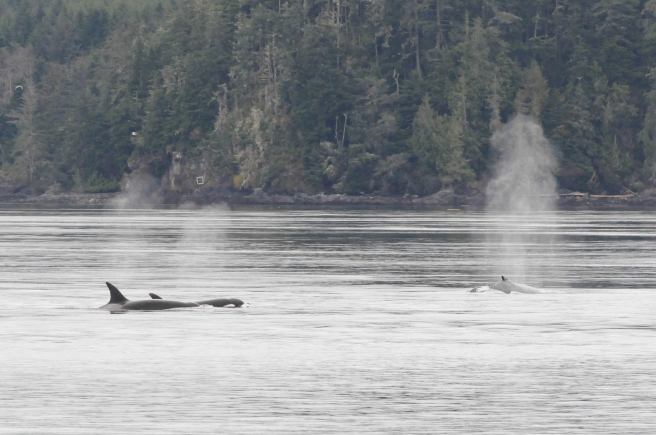 "Mammal-eating killer whales (T049s) following ""Guardian"" the humpback whale  (photo by Jackie Hildering, MERS)"