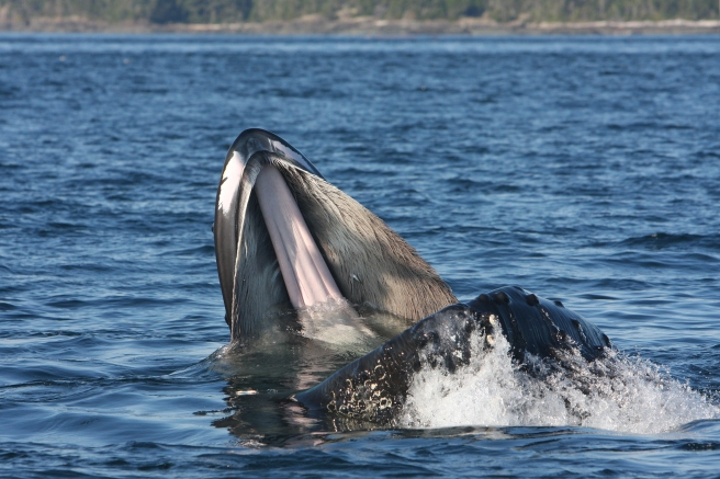 """Moonstar"" trap-feeding. Note the small herring stuck in her baleen (photo by Jared Towers, MERS)"