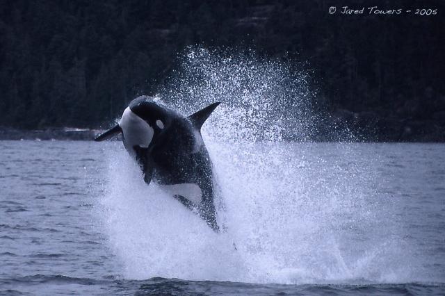 Transient Killer Whale T079 hunting porpoises.
