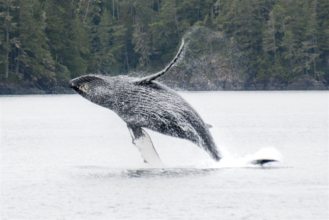 """12-year-old humpback whale """"KC"""" (BCY0291), breaching.  KC was first documented by MERS research off northern Vancouver Island when he was a calf in 2002, and has returned every year since then. (Photo by Christie McMillan, MERS)"""