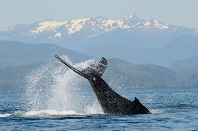 """Humpback whale """"Black Pearl"""", known to MERS since 2012, tailslapping off northern Vancouver Island (Photo by Christie McMillan, MERS)"""
