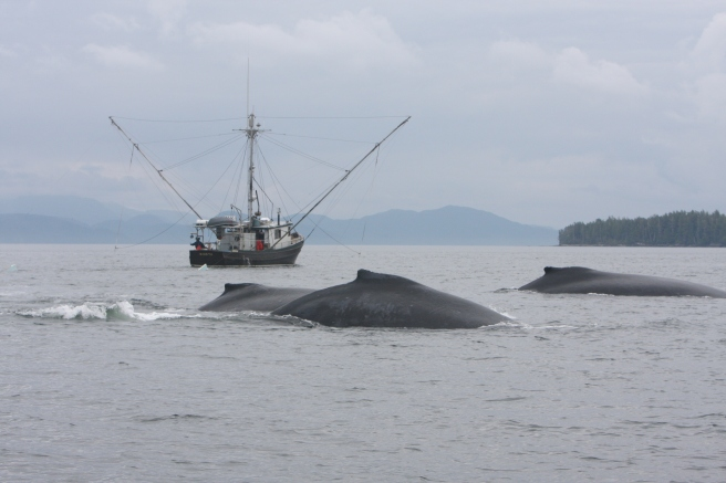 More research is required to better understand the threats that result from increased overlap between humpback whales and human activity  (Photo: Jared Towers, MERS)
