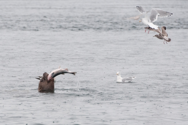 Steller sea lion feeding on a chum salmon, while gulls wait to pick up the scraps. (Photo by Jackie Hildering, MERS)