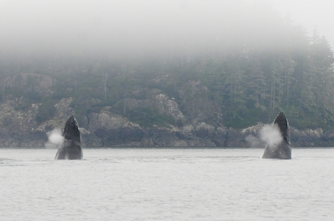 """Humpback whales """"Claw"""" and """"Zorro"""" spyhopping"""