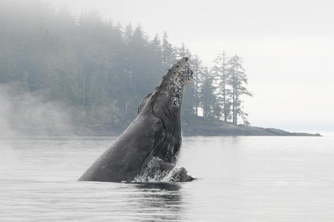 "Humpback whale ""Zorro"" (BCX0380) breaching in Blackfish Sound"
