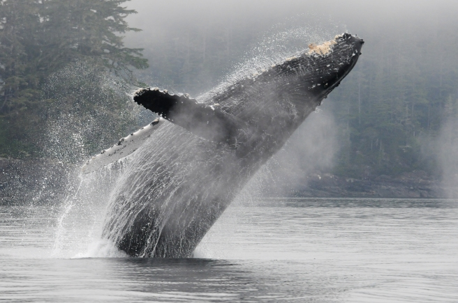 "Humpback whale ""Claw"" breaching"