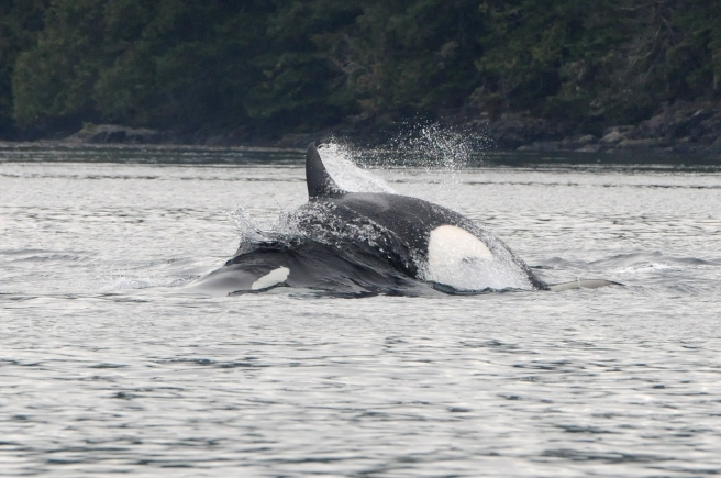 Bigg's killer whale attacking a Steller sea lion. (Photo by Christie McMillan, MERS)
