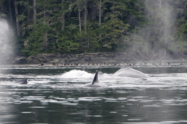 "Humpback whales ""Quartz"", ""Domino"", and ""Backsplash"" interacting with Bigg's killer whales. (Photo by Christie McMillan, MERS)"