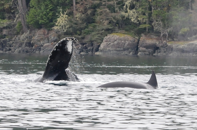 "Humpback whale ""Backsplash"" interacting with T__ , a mammal-eating killer whale. (Photo by Christie McMillan, MERS)"
