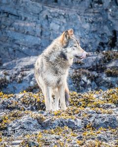 Ivan Dubinsky - wolf photo