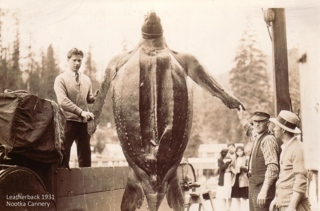 Unfortunate Leatherback Turtle at Nootka Packers. 1931. Click to enlarge.