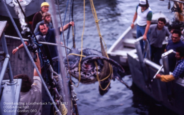 Leatherback being saved from entanglement by Canada's Coast Guard in 1982 (Arrow Post). Photo: ©Laurie Gordon, DFO. Click to enlarge.