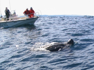 Leatherback Turtle sighted off Langara Island in 2004. ©S. Skorupinski. Click to enlarge.