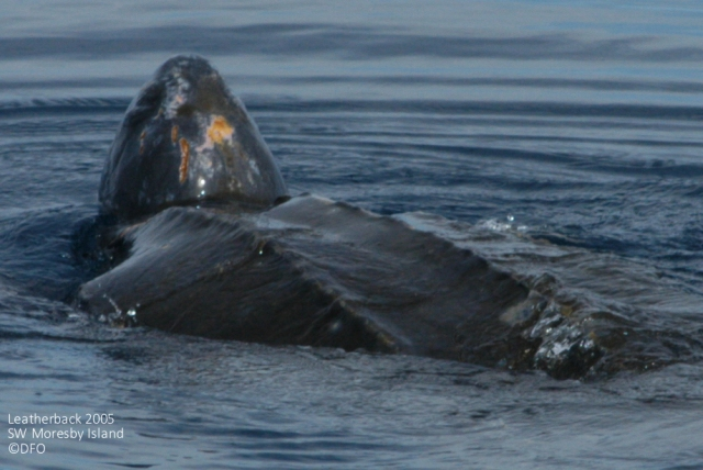 Each Leatherback has a unique pink path on the top of their heads that allows them to be identified as individuals. Photo @DFO - 2005, SW Moresby Island.