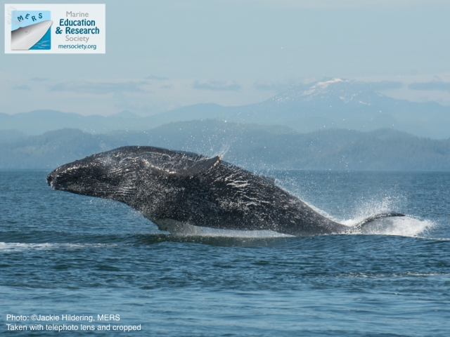 Calf breaching. Photo: Jackie Hildering; MERS.