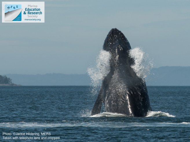 Slash breaching (while emptying water from her mouth). Note the vessel strike scars along her back? Photo: Jackie Hildering; MERS.