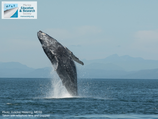 Calf breaching. Photo: Jackie Hildering; MERS.