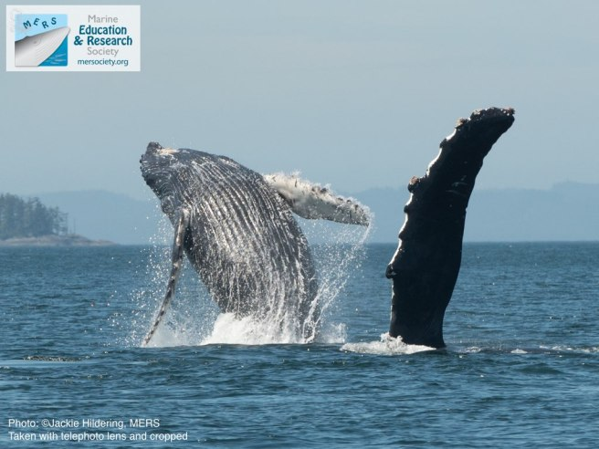 Mother and calf breaching and pectoral fin slapping. Photo: Jackie Hildering; MERS.