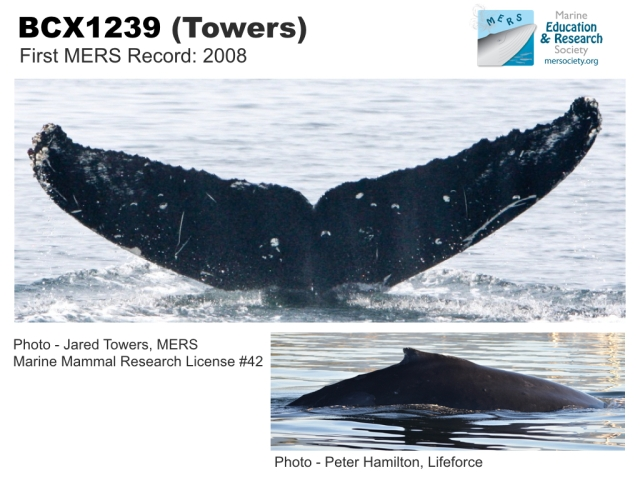 ID photos from the MERS Humpback Whale ID Catalogue for NE Vancouver Island.